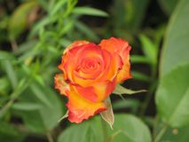 Little orange rose. Flower on the bush in the autumnal garden flowerbed stock photography