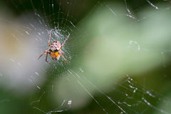 Little Orange Spider Stock Image