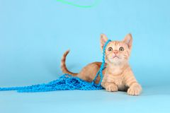 Little Orange Tabby Kitten in Studio Stock Photos