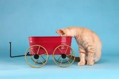 Little Orange Tabby Kitten in Studio Royalty Free Stock Image