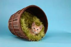 Little Orange Tabby Kitten in Studio Royalty Free Stock Photography