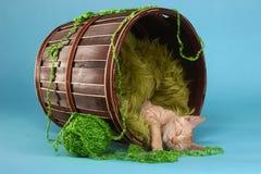 Little Orange Tabby Kitten in Studio Royalty Free Stock Images
