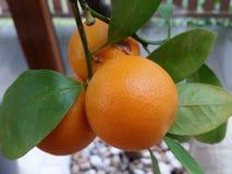 Little Orange Royalty Free Stock Photography