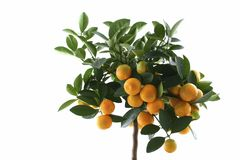 Little orange tree isolated. Orange (Citrus Fortunella) tree in italy flower pot isolated stock photos