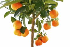 Little orange tree isolated on white. Orange (Citrus Fortunella) tree in italy flower pot isolated royalty free stock images
