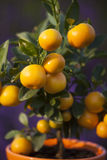 Little orange tree Royalty Free Stock Photography