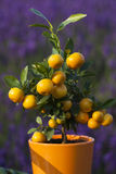 Little orange tree Stock Photo