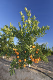 Little orange tree Royalty Free Stock Image