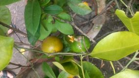 Little Oranges stock photo