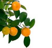 Little oranges tree royalty free stock photo