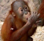 Little orangutan. This baby orangutan is enjoying his lunch royalty free stock photo