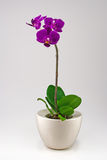 Little orchid. With water drops Stock Photo