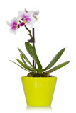 Little orchid in a green pot Stock Photos