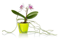 Little orchid Stock Photos