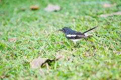 A little oriental magpie robin black and white stripe tropical Royalty Free Stock Photography