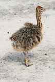 Little ostrich Stock Image