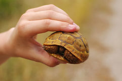 Little overland turtle in the hands Stock Image