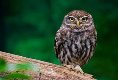 Little owl. Standing on one leg Stock Photos