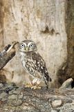 Little Owl. The Little Owl (Athene noctua royalty free stock image