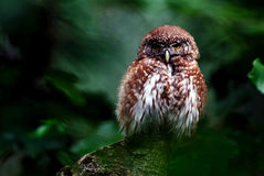 Little owl. Nikon d200, nikkor 4/300 stock photo