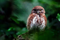Little owl. Adult bird- NP Bavarian forest stock photography