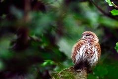 Little owl. Adult bird- NP Bavarian forest Stock Image