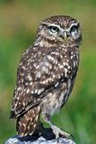Little owl. A young wild little owl royalty free stock images