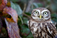 A little owl. Looking at the camera Stock Photography