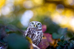 A little owl. Looking at the camera Stock Image