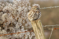 A little owl. Sitting on a fence post looking at the camera Royalty Free Stock Image