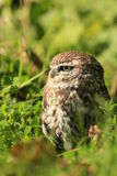 Little owl. A little owl hiding itself between the plants royalty free stock photo