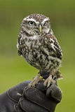 Little Owl Stock Image