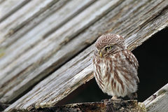 Little Owl. On a old barn royalty free stock photo