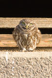Little owl. (Athene noctua) looks out Royalty Free Stock Image