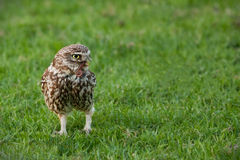 Little owl Royalty Free Stock Photos