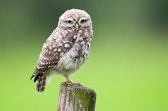 Little Owl Stock Photos