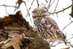 Little Owl Stock Photo