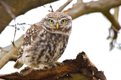 Little Owl Stock Images