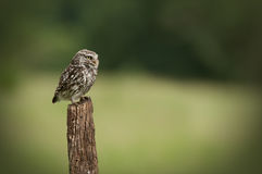 Little Owl. An adult Little Owl (Athene noctua). Sitting perched on an old fence post looking right royalty free stock photo