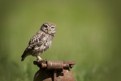 Little Owl. (Athene noctua). A juvenile  perched on an old cast iron pipe and looking at the camera royalty free stock photography