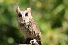 Little Owl Stock Photos