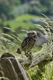 Little Owl. (Athene noctua) sitting on Fence stock images