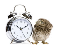 Little Owl, 50 days old, Athene noctua. In front of a white background with alarm clock Royalty Free Stock Image