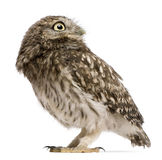Little Owl, 50 days old, Athene noctua, standing. In front of a white background Royalty Free Stock Image