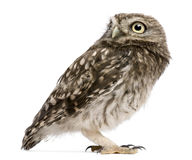 Little Owl, 50 days old, Athene noctua, standing. In front of a white background Stock Photography