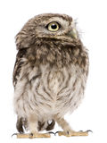 Little Owl, 50 days old, Athene noctua, standing Royalty Free Stock Photography