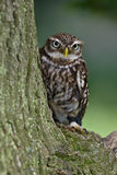 Little Owl. Perched in an Oak tree Stock Photography