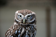 Little Owl. Head and shoulders portrait of Little Owl royalty free stock photography