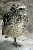 Little owl. Standing on one foot royalty free stock image
