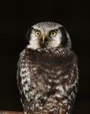 Little Owl. Portrait of a Little Owl Stock Photos